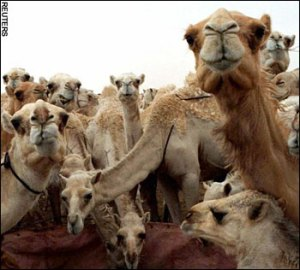 Even the Camels